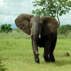 African bush elephant; Taken by Oliver Wright, [Public domain], via Wikimedia Commons