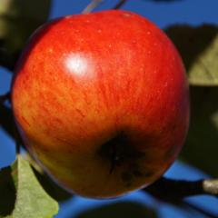 apple on tree; Image via Pixabay, CC0 Public Domain