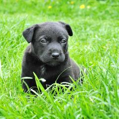 puppy in grass; Image via Pixabay, CC0 Public Domain