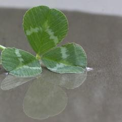 clover leaf; Image via Pixabay, CC0 Public Domain