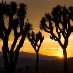 joshua trees, sunset silhouette; Image via Pixabay, CC0 Public Domain