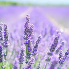 field of lavender; Image via Pixabay, CC0 Public Domain