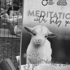 poster advertising meditation with baby goats